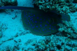 Arraia Azul - Mar Vermelho
