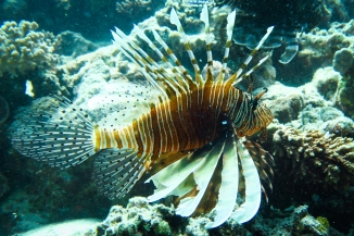 Peixe Leão - Mar Vermelho