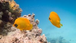 Peixes Amarelos - Mar Vermelho