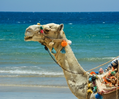 Abu Dabab - Camel